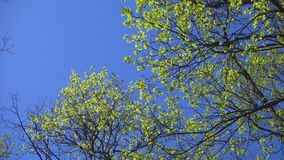 Young oak leaves swaying on trees against blue sky. Young oak leaves swaying at the wind on trees against blue sky, spring natural background stock video footage