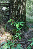 Young oak. Oaklet on a background of mossy trunk of a birch in a wood Royalty Free Stock Image