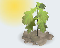 Young oak. Reaches for the sun in the forest Royalty Free Stock Photo