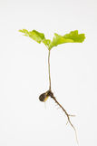 Young oak seedling Royalty Free Stock Photography