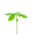 Young oak sprout Stock Image