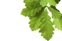 Young Oak Tree Stock Images