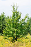 Young oak tree in meadow near the wood. Royalty Free Stock Photography