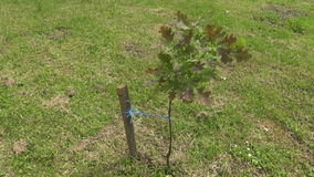 Young oak tree  and wind stock video