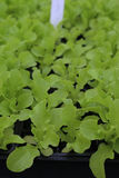 Young Oakleaf Lettuce Plants Stock Images