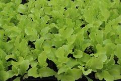 Young Oakleaf Lettuce Plants Stock Image
