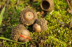 Young oaks acorns on the ground  Royalty Free Stock Image