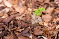 Young offspring of a horse chestnut. In nature Royalty Free Stock Photography