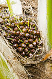 Young oil palm Stock Photos