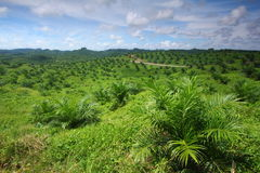 Young Oil Palm Plantation. Young oil palm trees grow in a plantation Royalty Free Stock Images