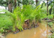 Young oil palm tree in nursery field Royalty Free Stock Photos