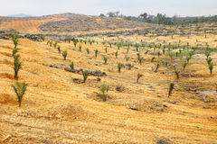 Young oil palm trees planted on cleared land Stock Photo