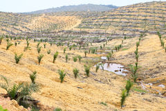 Young oil palm trees planted on cleared land - Series 3. Cleared land planted with young oil palm trees stock photography