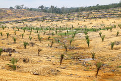 Young oil palm trees planted on cleared land - Series 4 Stock Image