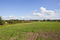 Young oilseed rape crop Royalty Free Stock Images