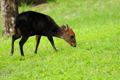 Young Okapi Stock Photography