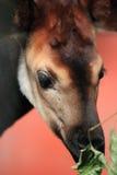 Young okapi Stock Photo