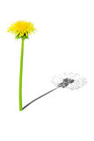 Young and old. Young dandelion with shade of the old dandelion Stock Images