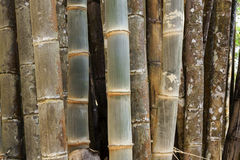 Young and old bamboo tree background Royalty Free Stock Photos