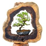 Young and old bonsai tree in comparison Stock Photos