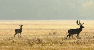 Young and old fallow deers Stock Photography