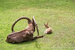 Goats couple on grass stock photography