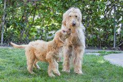 Young and Old Goldendoodle Dogs. Eleven week old and thirteen year old Goldendoodles, Woody and Bogey, standing together on grass, the puppy looks like he`s Royalty Free Stock Image