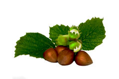 Young and old hazelnuts Royalty Free Stock Photography