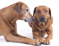 Young and old rhodesian ridgeback dogs royalty free stock image