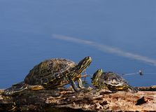 Young and Old Turtles. A pair of red-eared slider turtles (Chrysemys scripta elegans), one young and one old.  Shot at Brazos Bend State Park near Houston, Texas Stock Photo