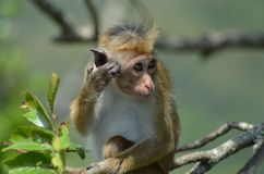 Young old world monkey on the tree. A young old world monkey enjoying sun bath on the tree Royalty Free Stock Images