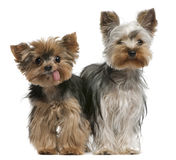 Young and old Yorkshire terriers. 6 months and 12 years old, sitting in front of white background Royalty Free Stock Image
