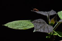 Young and older leaves of yellow catalpa Catalpa Ovata on dark background, beetle of heteroptera family on rear leaves Royalty Free Stock Image