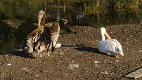 Young and older pelican stock footage