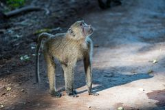 Young olive baboon looking up to trees royalty free stock image