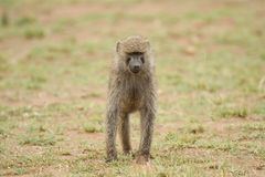 Young Olive Baboon Royalty Free Stock Images