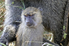 Young olive baboon (Papio Anubis) Royalty Free Stock Photography