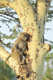Young olive baboon on a tree Royalty Free Stock Image