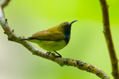 Young Olive-backed sunbird Royalty Free Stock Image