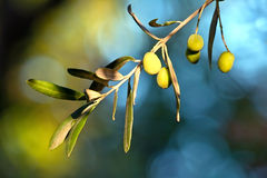 Young Olive On A Branch Royalty Free Stock Image