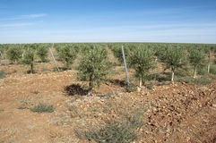 Young olive grove Royalty Free Stock Images