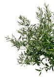 Young olive tree branch Stock Photography