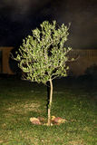 Young olive tree Royalty Free Stock Photography