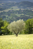Young olive tree Royalty Free Stock Images
