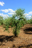 Young Olive Tree Stock Images