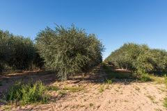 Young Olive Tree Plantation. Olive trees in the field, Florence, Arizona, USA stock images
