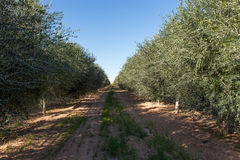 Young Olive Tree Plantation. Olive trees in the field, Florence, Arizona, USA royalty free stock photos