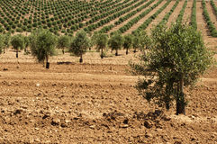 Young olive trees Royalty Free Stock Image