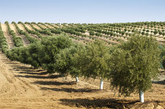 Young olive trees Royalty Free Stock Photography
