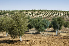 Young olive trees Stock Photo